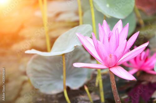 Foto op Canvas Lotusbloem Beautiful pink lotus flower