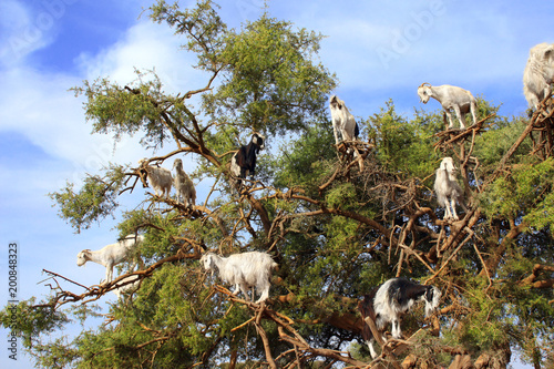 Goats on the argan tree, Morocco