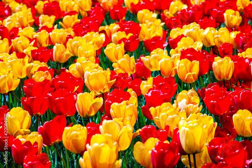 Tuinposter Bloemen Yellow and red color tulips in Keukenhof park, Netherlands
