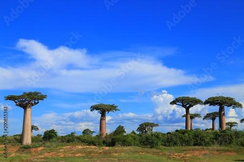 In de dag Baobab バオバブ街道