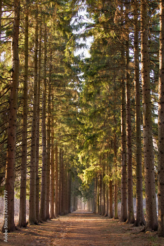 green corridor of pine trees in the Park in the spring