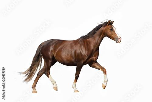 Cute miniature horse over a white background