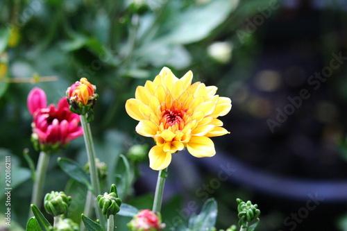 Poster Dahlia Yellow chrysanthemum