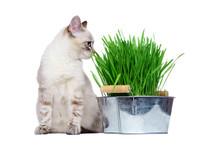 Sitting Kitten Eating Fresh Gr...