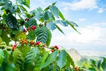 Fresh Arabica Coffee Bean On T...