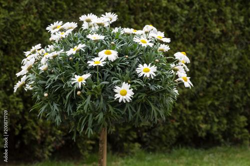 Plakat Kwiatonośny marguerite drzewo w ogródzie (Leucanthemum)