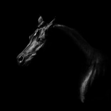 Silhouette Of A Black Arabian Horse Isolated On Black Background