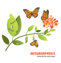 Butterfly Life Cycle Metamorph...