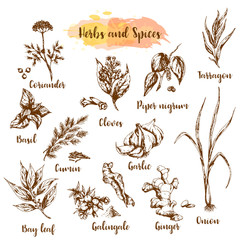 Fototapeta Herbs and spices vector illustration. Herb, plant, spice hand drawn set. Organic healing herbs engraving. Vector botanical sketches.