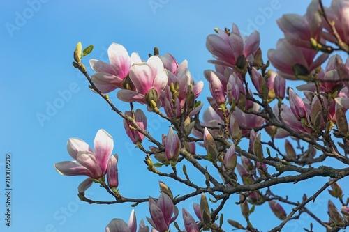 Deurstickers Magnolia magnolia blossoms