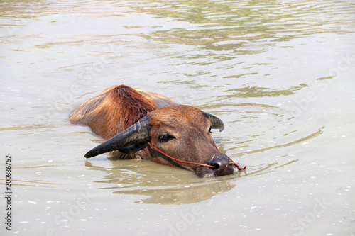 Staande foto Buffel Thai buffalo on the water, it take a bath to cool off. It is a large black domesticated buffalo with heavy swept-back horns, used as a beast of burden throughout the tropics.