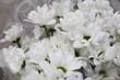 white chrysanthemums flowers