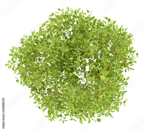 top view of pear tree with pears isolated on white background