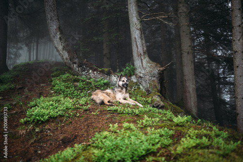Pinturas sobre lienzo  Dog in a mystical forest. Dog walking outdoors in a forest.