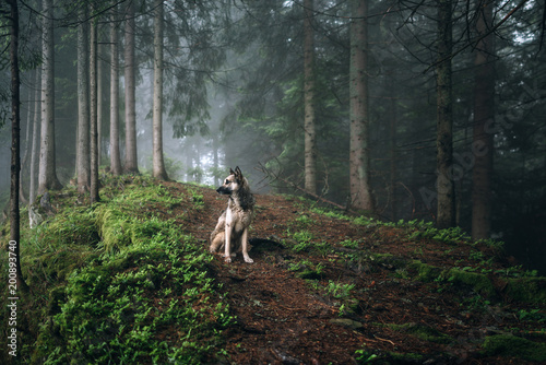 Fotografía  Dog sits in a mystical forest. Dog walking outdoors in a forest.