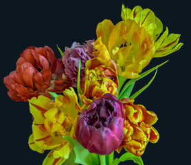 FototapetaFine art floral still life flower macro of a flowering tulip blossom bouquet/bunch on black background in vivid natural colors, red, pink, violet, yellow and green leaves