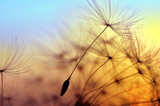 Fototapeta Puff-ball - Spring dandelion in the light of setting sun, zen background