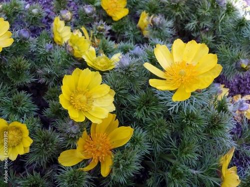 Photo yellow flowers of spring adonis (Adonis vernalis)