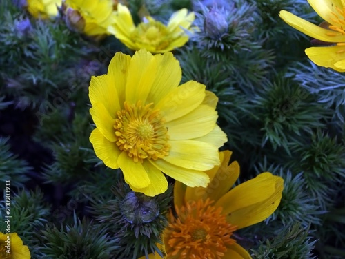 yellow flowers of spring adonis (Adonis vernalis) Canvas Print