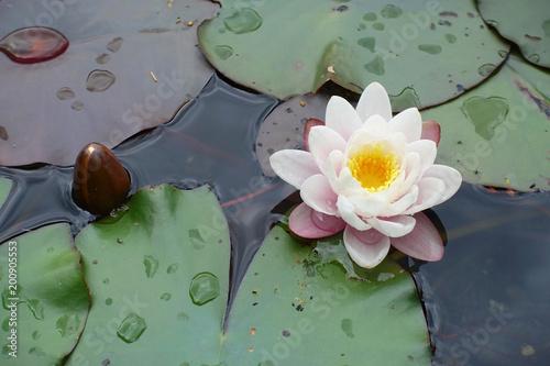 Foto op Canvas Waterlelies Seerose und Knospe