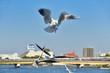 ユリカモメの飛翔