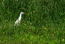 Cattle Egret In Tall Grass!