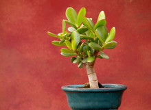 Jade Plant In Small Pot