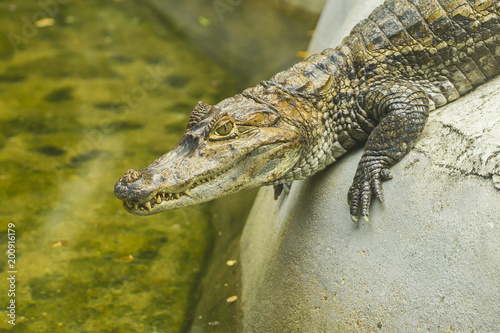 Foto op Plexiglas Krokodil Crocodile's head (close up)