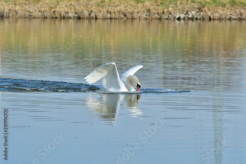 Foto auf Acrylglas Schwan white swan is landing on the water lake flying swan