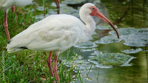 ibis, vögel am wasser - buy this stock photo and explore similar