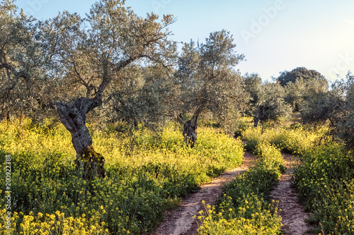 Olive Grove near Ronda, Spain