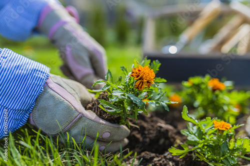 Plakat Kwitnące nagietki posadzone na ziemi w ogrodzie.