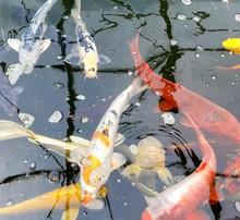 Japanese Koi Fish Pond, Close ...