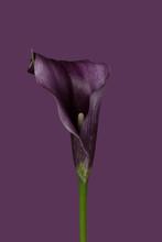 Calla Lily On Purple