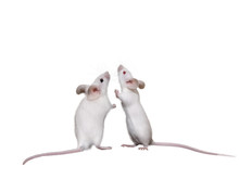 Two Lovely White Mice.