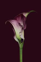 Purple Calla Lily On Purple