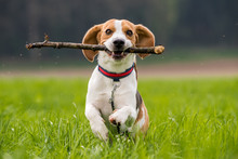 Beagle Dog In A Field Runs Wit...