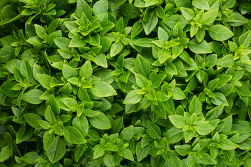 Panel SzklanyBackground of fresh green Basil with small leaves