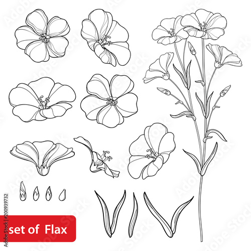 Obraz Vector set with outline Flax or Linseed or Linum flower bunch, bud and leaf in black isolated on white background. Ornate cultivated Flax plant in contour style for summer design and coloring book.  - fototapety do salonu