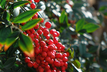 Red Berry On Nandina Shrub.