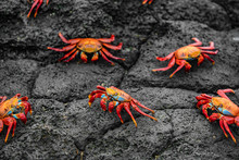 Sally Lightfoot Crabs On Galap...