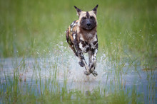 African Wild Dog, Lycaon Pictus, Running In The Splashing Water Directly At Camera.   African Wildlife Photography, Low Angle And Colorful Light. Moremi National Park, Okavango Delta, Botswana.