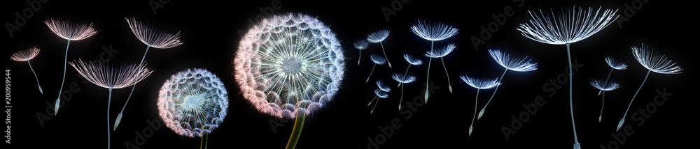 Fototapety, obrazy: Pusteblumen vor schwarzem Hintergrund extremes Querformat
