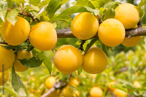 plum tree with ripe yellow plums