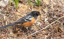 Spotted Towhee With Caterpilla...