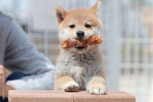 Photo 枝をくわえている柴犬の子犬