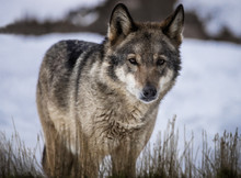 Wolf Standing In Dried Grass On The Snow In The Forest