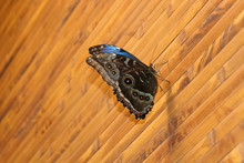 Butterfly Morpho Peleides (Peleides Blue Or Common Morpho, Or The Emperor) Sits On A Wooden Wall With Folded Wings