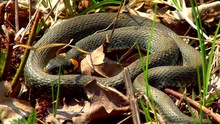 The Snake In The Wild After Winter On A Spring Sunny Day Creeps Along The Grass Next To The Pond Showing A Double Tongue