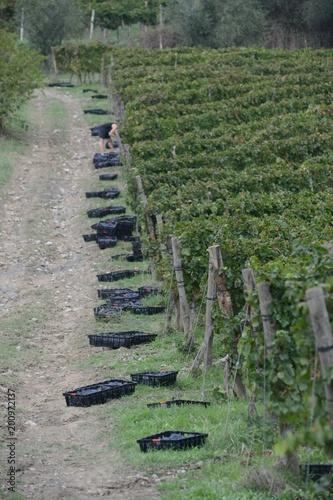 In de dag Khaki イタリア、トスカーナの秋のぶどう収穫風景